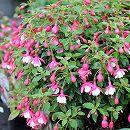 ガーデンフクシア:サンタローザ3.5号ポット 6株セット