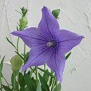 キキョウ:五月雨桔梗 紫花3号ポット 4株セット