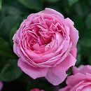 [17年5月中旬予約]デルバールローズ:フラゴナール新苗4号鉢植え