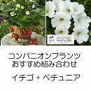 コンパニオンプランツ栽培セット:四季なりいちご夏姫とランドスケープペチュニアお雪ちゃん