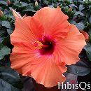 [17年5月中旬予約]ハイビスカス:アドニスマンゴーIROIRO-2・4号ポット