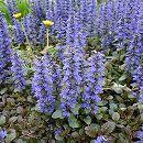 バラに合う宿根草の苗:アジュガ レプタンス:パープレア3号ポット1株