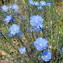 バラに合う多年草の苗:フラックス(アマ):ペレニアルブルー3号ポット1株