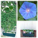 苗から育てる緑のカーテン栽培セット:宿根アサガオケープタウンブルー*