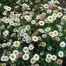 バラに合う宿根草の苗:エリゲロン カルビンスキアヌス3〜3.5号ポット1株