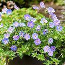 バラに合う宿根草の苗:ゲラニウム:アズールラッシュ3.5号ポット 1株