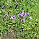 バラに合う宿根草の苗:バーベナ:ボナリエンシス3.5号ポット 1株