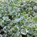 バラに合う宿根草の苗:斑入カキドオシ(グレコマ)3号ポット 1株