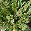 バラに合う宿根草の苗:ルメックス:サンギメウス3号ポット 1株