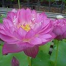 [17年5月中旬予約]花はす: 緋乃華4.5号ポット