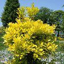 オウゴンモチノキ(黄金モチノキ)樹高1m根巻き