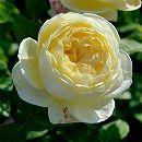 つるバラ:パトラッシュ6号角鉢植え