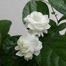マツリカ(八重咲き):グレイスフルレディ ジェイド5号ポット