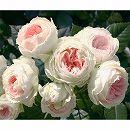 四季咲中輪バラ:パシュミナ大苗