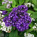 栄養系ヘリオトロープ:スイートバニラ(紫花)4号ポット