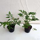 虫よけ2品種セット:ニーム(虫避けの木・インドセンダン)・蚊連草