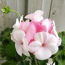 ゼラニウム:ホワイトtoローズ5号鉢植え