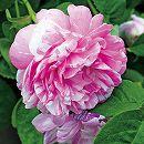 オールドローズ:カマユー大苗6号鉢植え