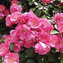 つるバラ:アンジェラ挿し木大苗6号スリット鉢植え