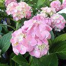 四季咲きアジサイ:霧島の恵み3.5号ポット