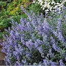 バラに合う宿根草の苗:キャットミント:シックスヒルズジャイアント3号ポット 1株