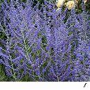 バラに合う宿根草の苗:ロシアンセージ:ブルースパイヤー3.5号ポット 1株