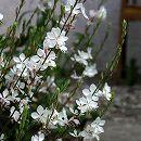 バラに合う宿根草の苗:ガウラ(白蝶草):リンドハイメリー3.5号ポット 1株
