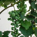 ワイン用ぶどう:カベルネ ソーヴィニヨン6号ポット