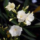 キョウチクトウ(夾竹桃):マドンナグランディフローラ(白八重)4号ポット 5株セット