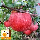 リンゴ:ルビースイート4〜5号ポット