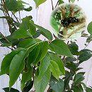 ジャボチカバ6号鉢植え