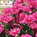 ボンザマーガレット:ウルル咲きルージュピンク3.5号ポット 2株セット