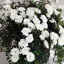 つるバラ:プリンセススノー長尺5号鉢植え