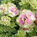 八重咲ペチュニア:ローザヴェルデ3.5号ポット