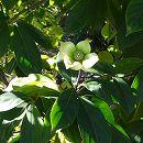常緑ヤマボウシ:新月(しんげつ)3.5号ポット