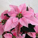 ポインセチア:プリンセチア ピンクホワイト2.5号ポット苗