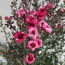 ギョリュウバイ:ピンク花5号鉢植え