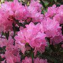 ハイブリッドツツジ:春一番根巻きまたはポット入り樹高70〜100cm