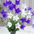 キキョウ混合 紫花・白花4株入り裸苗袋詰め