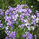 ムラサキハナナ(紫花菜)3〜3.5号ポット 12株セット