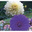 [17年3月中旬予約]ガーデンダリア クールカラー:巨大輪咲き(白・紫)2球入り