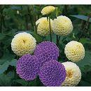 ガーデンダリア クールカラー:ポンポン咲き(白・紫)2球入り