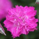 芳香四季咲き八重咲きなでしこ:エルサ3号ポット 3株セット