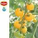 トマト(中玉):黄金のトマト3号ポット