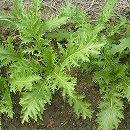 [サラダに!ピリッとした風味 野菜タネ 4〜9月まき]タイマスタードの種