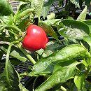 [育てやすい、少しだけ辛いピーマン 野菜タネ 2〜6月まき]ピーマン:F1ホットチェリーボンボンの種