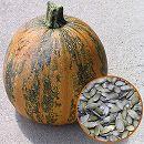 [種を食べるカボチャ 野菜タネ]タネ食いかぼちゃ:ぱくりんこの種