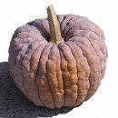 [日本カボチャ 大阪の伝統野菜 野菜タネ]かぼちゃ:勝間南瓜かっちゃんの種