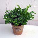 アスプレニウム:レズリー5号鉢植え/バケツMサイズ入り