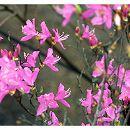 ツツジ:紫八汐(ムラサキヤシオ)3.5号ポット